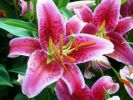 Oriental Lily Bulbs Spring-Planted